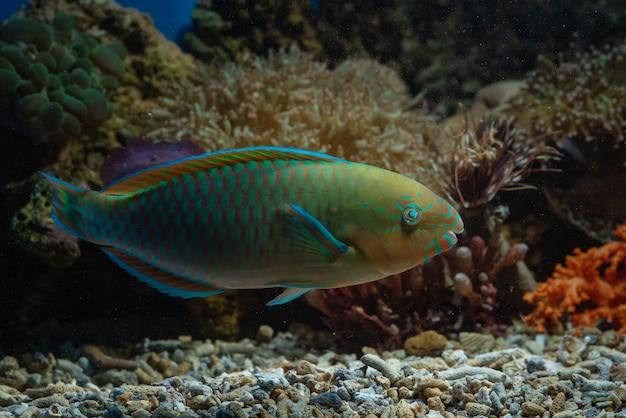 Pesce pappagallo nelle barriere coralline Foto Premium