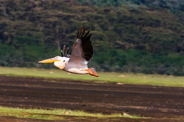 Il pellicano sta volando. nakuru, in kenya Foto Premium
