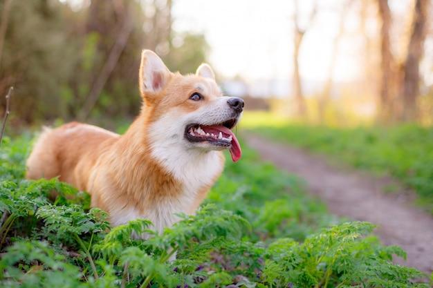 Il cane pembroke welsh corgi alza lo sguardo in una passeggiata nel parco Foto Premium