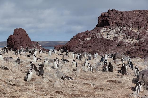 Pinguini che si siedono sulla spiaggia rocciosa Foto Premium
