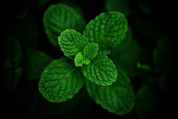 Foglia di menta piperita nei precedenti scuri del giardino - foglie di menta fresca nelle erbe o nelle verdure verdi di una natura Foto Premium
