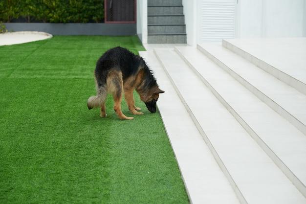 Cane da compagnia esplorando l'erba del prato fuori casa Foto Premium