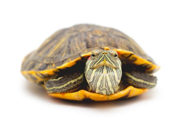 Cursore dalle orecchie rosse della tartaruga dell'animale domestico (trachemys scripta elegans) isolato su priorità bassa bianca. Foto Premium