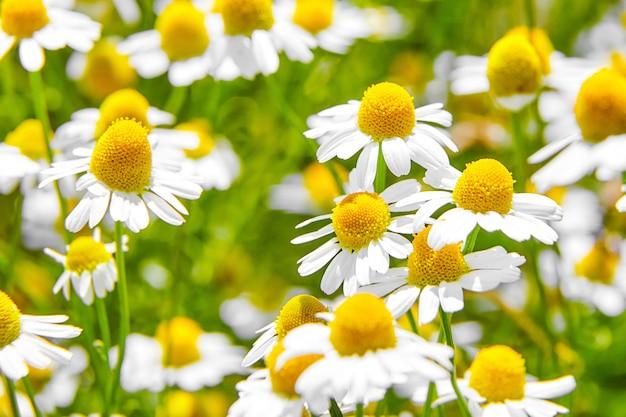 Pianta medicinale camomilla farmacia sul campo con fiori bianchi Foto Premium
