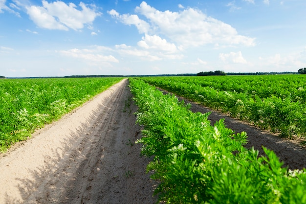 Fotografato in primo piano di un campo agricolo su cui crescono i germogli verdi di carote, su uno sfondo di cielo azzurro con nuvole bianche Foto Premium