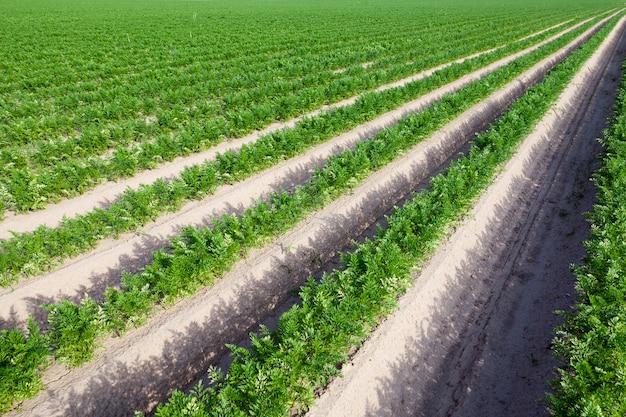 Primo piano fotografato di un campo agricolo su cui crescono i germogli verdi delle carote Foto Premium
