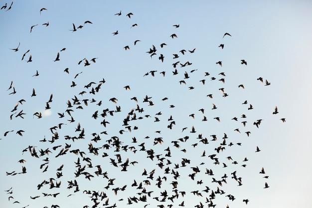 Fotografato close-up cielo blu, in cui uno stormo di uccelli che volano, sagome visibili, durante il giorno, Foto Premium
