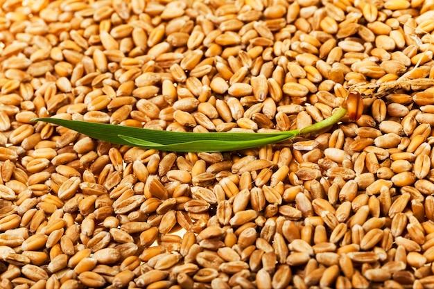 Primo piano fotografato di grano maturo dopo il raccolto Foto Premium