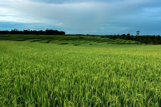 Foto di vedute di verdi risaie in indonesia Foto Premium