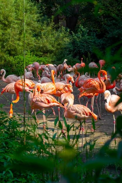 Primo piano rosa dei fenicotteri che sta intorno agli alberi e ai cespugli verdi in fauna selvatica Foto Premium