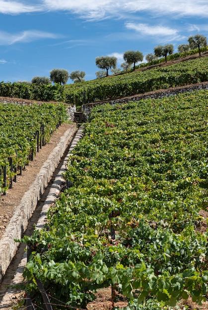 Impianto di viti per la raccolta e la lavorazione del vino Foto Premium