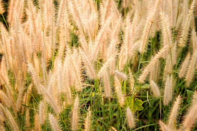 Giacimento di fiori dell'erba di poaceae e fondo di poaceae Foto Premium