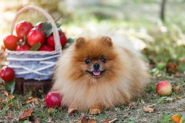 Cane di pomeranian con le mele in un giardino. raccolta delle mele cane con mele. cane d'autunno Foto Premium