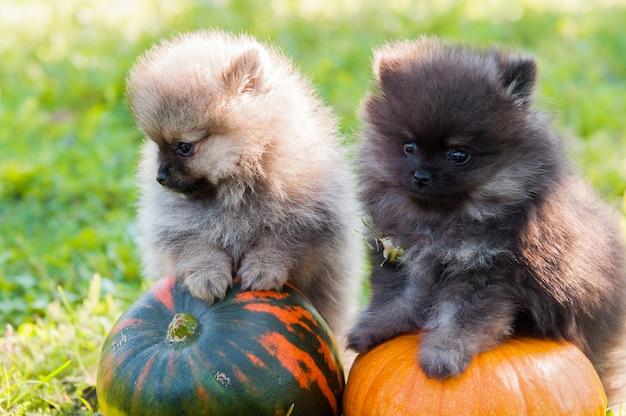 Cani pomeranian e zucca Foto Premium