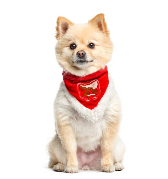 Pomerania che si siede con una sciarpa rossa, isolata su bianco Foto Premium