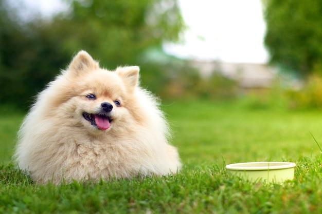 Pomerania spitz cane sdraiato sull'erba Foto Premium