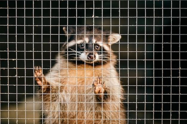Procione di compassione povero che soffre nello zoo e cerca di uscire dalla gabbia. Foto Premium