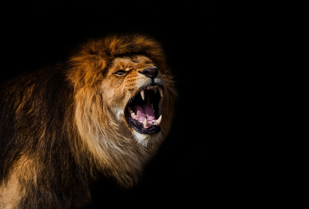 Ritratto di un bellissimo leone Foto Premium