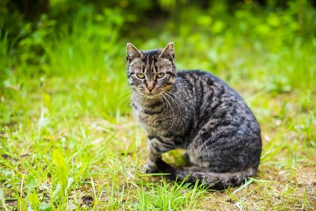 Ritratto di un gatto soriano grigio con lunghi baffi. gatto sull'erba verde Foto Premium