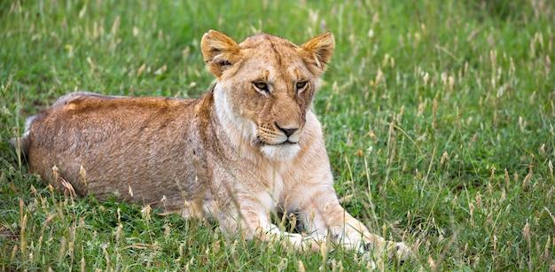 Il ritratto di una leonessa, si trova nell'erba nella savana Foto Premium