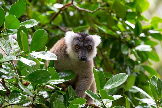Il ritratto di un lemure rosso nel suo ambiente naturale Foto Premium