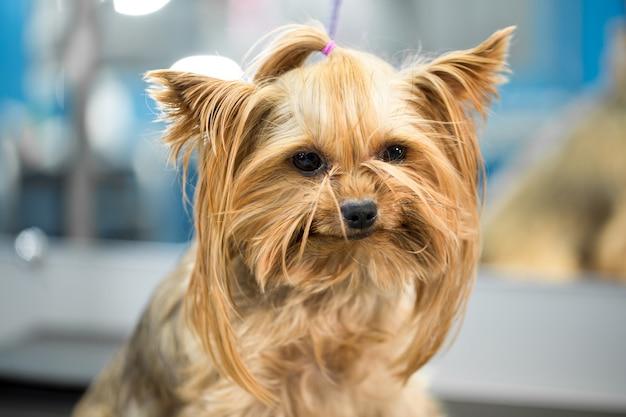 Ritratto di un piccolo cane in ospedale sul tavolo prima dell'esame Foto Premium