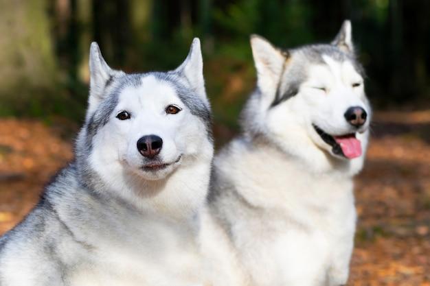 Ritratto di due cani felici, razza husky su uno sfondo di foresta. Foto Premium