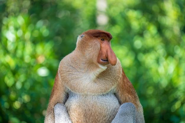 Ritratto di una scimmia proboscide selvaggia o nasalis larvatus, nella foresta pluviale dell'isola di borneo, malesia, vicino. scimmia incredibile con un grande naso. Foto Premium