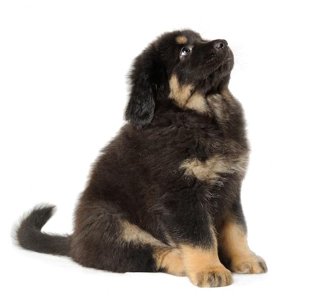 Mastino tibetano nero del cucciolo sopra cercare bianco della parete Foto Premium