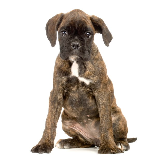 Boxer cucciolo Foto Premium