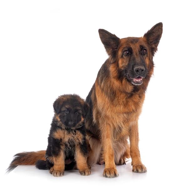 Cucciolo di pastore tedesco e adulto Foto Premium