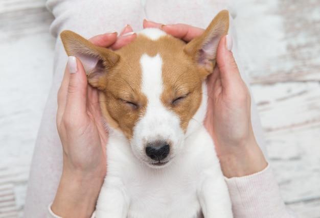 Cucciolo di cane jack russell che dorme terier le mani Foto Premium
