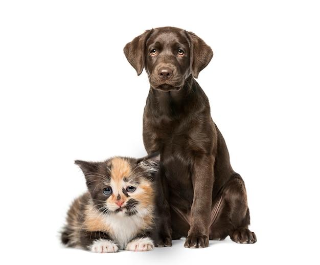 Cucciolo labrador retriever seduto, european shorthair kitten Foto Premium