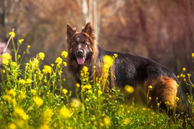 Cane da pastore tedesco di razza in un parco con i fiori gialli un giorno soleggiato. Foto Premium