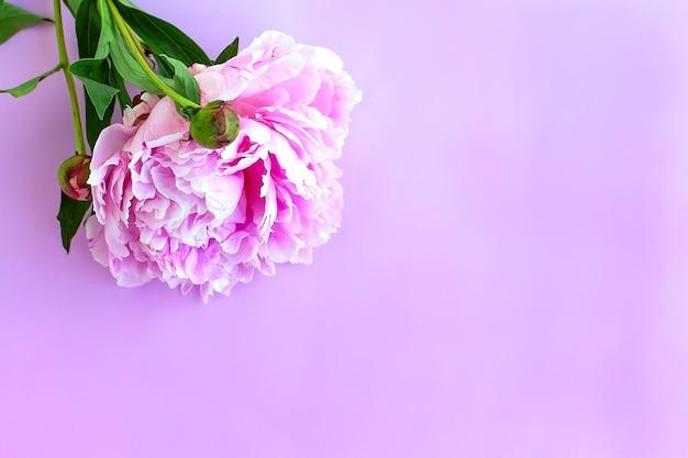 Fiori di peonia purpure sul rosa. lay piatto Foto Premium