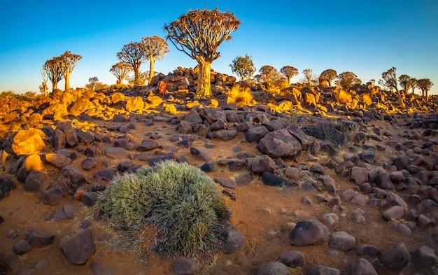 La foresta di quivertree all'alba vicino a keetmanshoop in namibia, africa. Foto Premium