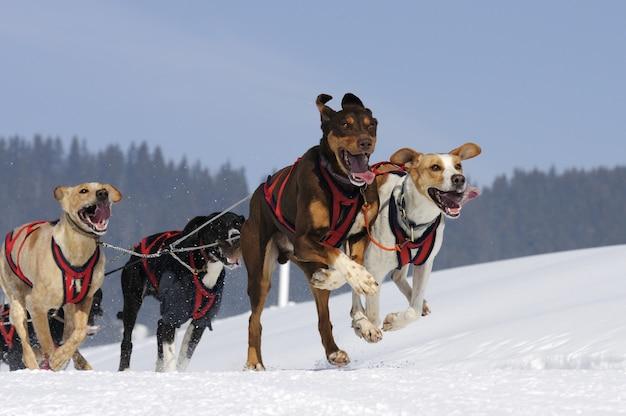 Cane da corsa nella neve Foto Premium