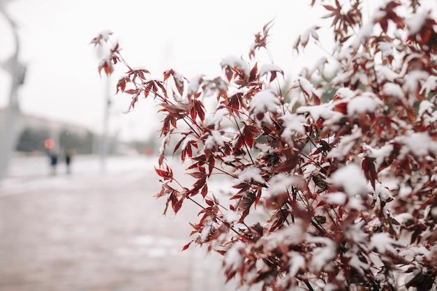 I cespugli colorati di rosso coprono di neve in un parco invernale. concetto di natura. Foto Premium