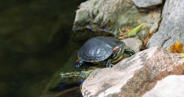 La tartaruga di cursore dalle orecchie rosse sta riposando sullo stagno Foto Premium