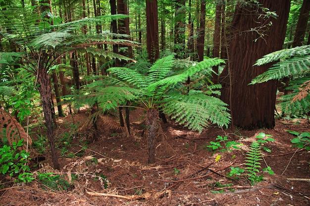 Foresta rossa a rotorua, nuova zelanda Foto Premium