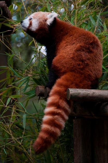 Panda rosso che mangia bambù Foto Premium