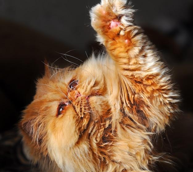 Il gatto persiano rosso sta giocando sul divano Foto Premium
