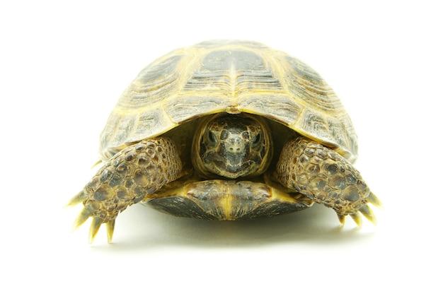 Tartaruga rettile isolata su bianco Foto Premium