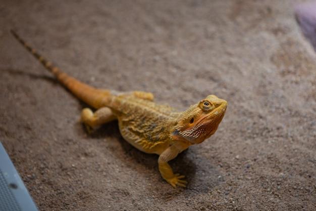 Rettili e natura. ritratto di un drago barbuto centrale Foto Premium