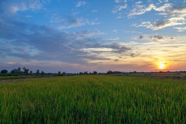 Campi di riso e vista del cielo al tramonto Foto Premium