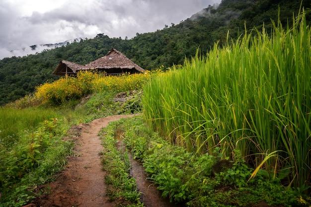 Campi di riso in thailandia Foto Premium
