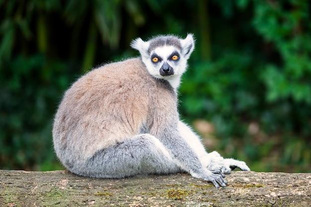 Lemure dalla coda ad anelli guardando dritto nella foresta Foto Premium