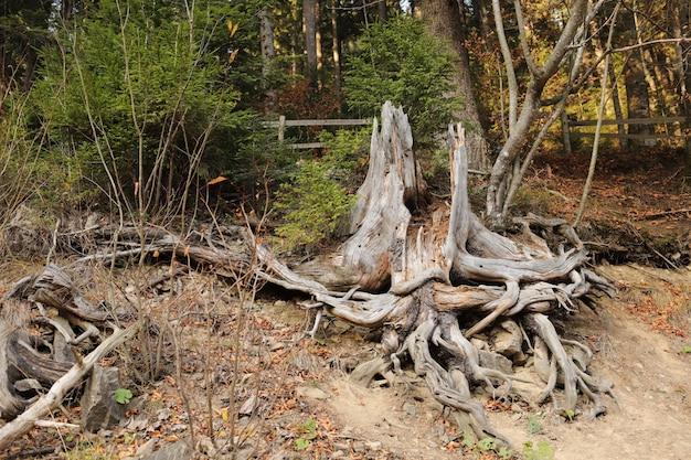 Radice del grande albero dopo che è stato abbattuto un albero e scavato la radice. Foto Premium