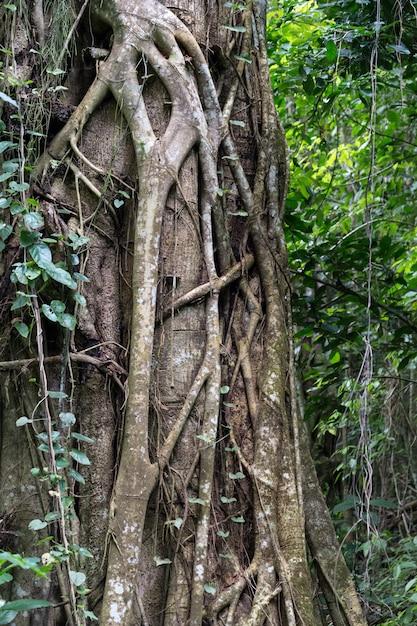 Tronco legato alla radice di grande albero nella foresta pluviale Foto Premium