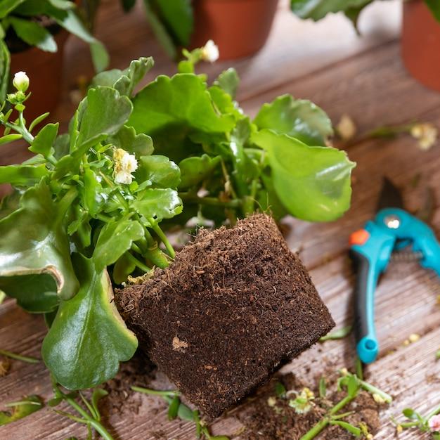 La radice del brivido della vedova, pianta di kalanchoe con forbici da giardino e guanti Foto Premium
